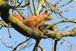 ekorre (Sciurus vulgaris)